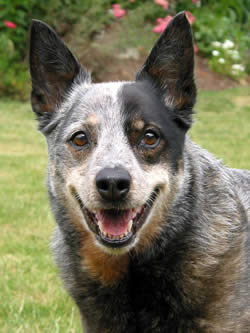 Australian Cattle Dog Names