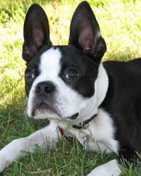 Boston Terrier Breed History Temperament Care Training More