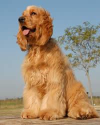 English Cocker Spaniel Dog History Temperament Care Training