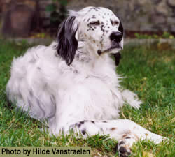 how to train an english setter