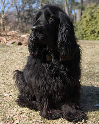 Dog Dog Care Dog Pictures Non Sporting Breeds Field Spaniel