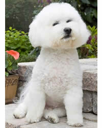 Bichon Frise - Good Apartment Dogs