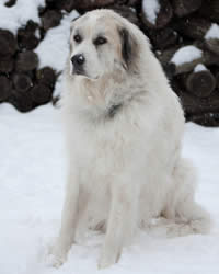 Great Pyrenees Dogs