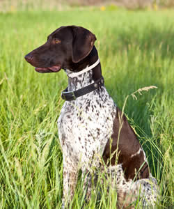 Boy Dog Names For German Shorthaired Pointers