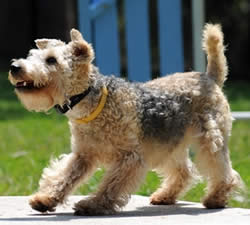 Lakeland Terrier: History, Temperament, Care, Training ...