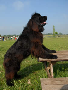 Pros And Cons Of Large Dog Breeds