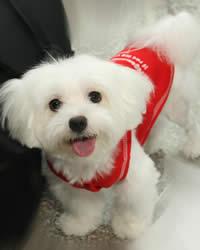Maltese Dog Breed History Temperament Care Training