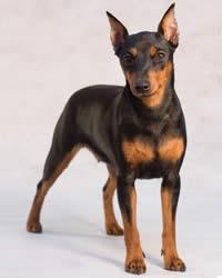 Miniature Pinscher Dog Breed History Temperament Care Training