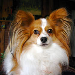 Papillon - A Popular Small Dog Breed