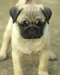 Pug Dog Breed