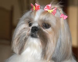 Shih Tzu Names Find 101 Names And Meanings For Your Shih Tzu Dog