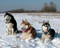 Husky Sled Dog Names
