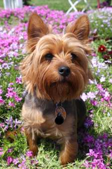 Small Dog Syndrome