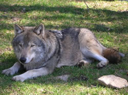 Wolf Names More Than 125 Wolf Dog Names And Meanings For Your Puppy