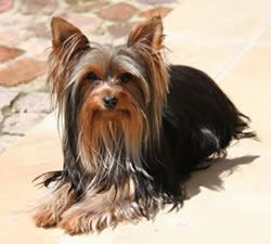 Yorkie Dog Names 101 Names And Meanings For Your Yorkshire Terrier
