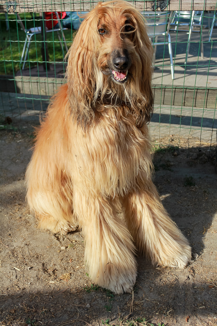 Afghan Hound History Temperament Care Training Amp More