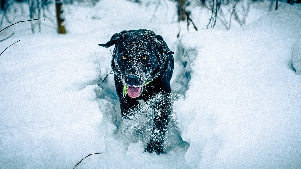 "Labrador ""Spot"" in the snow"